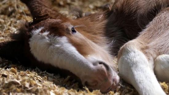 super-bowl-commercials-brotherhood-budweiser-clydesdale-foal